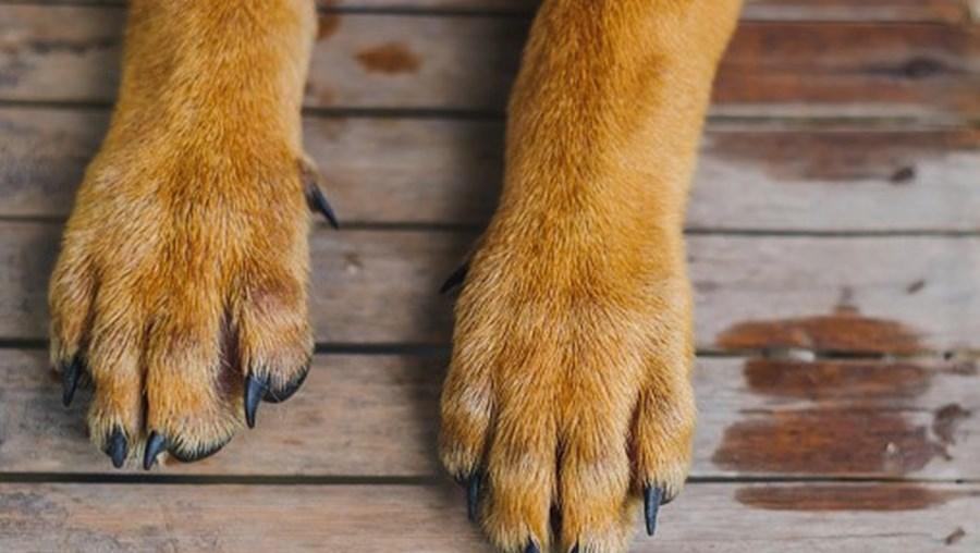 Patas de cão