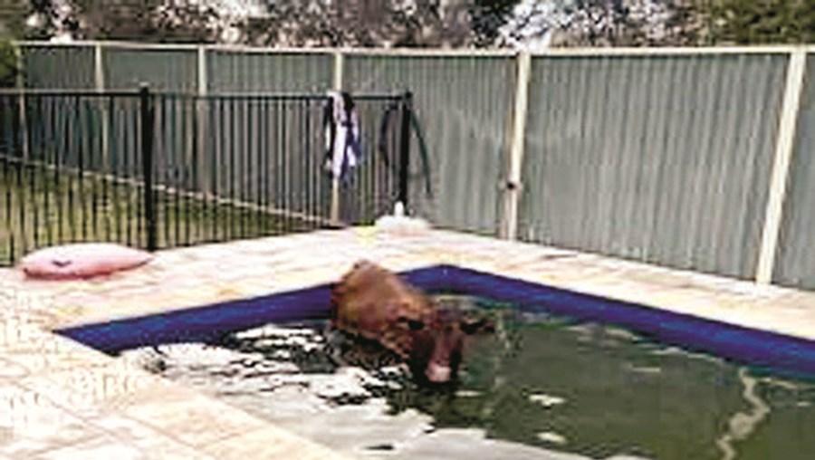 Bombeiros resgatam vaca de piscina na Austrália