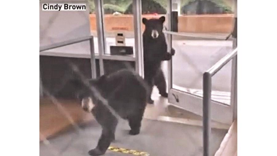 Ursos apanhados a invadirem lar de idosos nos EUA