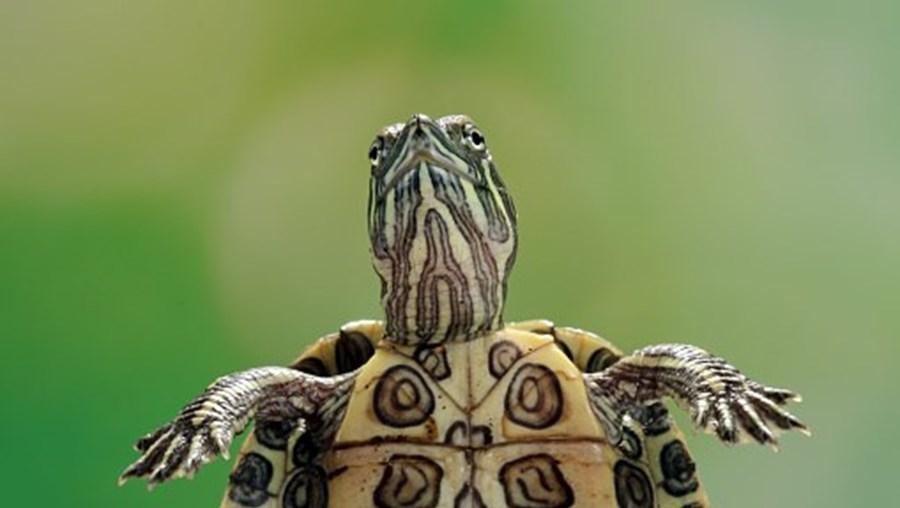 tartaruga, xxx