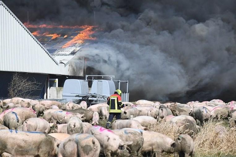 Incêndio mata mais de 55 mil porcos na Alemanha