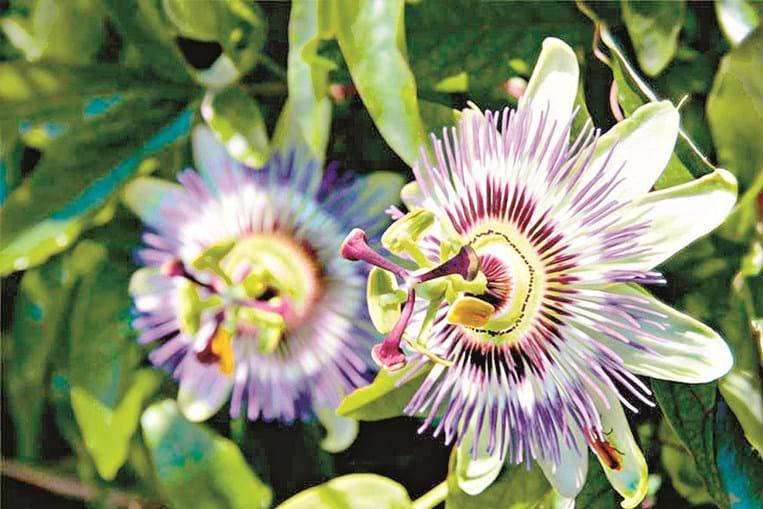 1 A cafeína não deve ser ingerida à noite 2 Certas ervas contribuem para a produção de serotonina 3 A passiflora é um poderoso calmante
