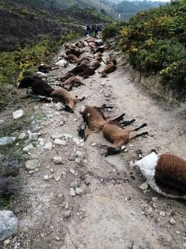 Relâmpago mata 68 cabras em Arcos de Valdevez