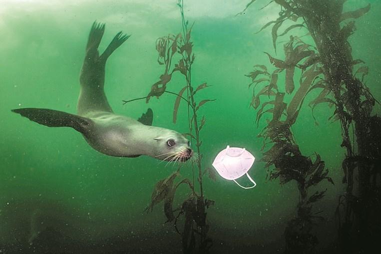 'Leão-marinho da Califórnia brinca com máscara', Ralph Pace (1º lugar Meio Ambiente)