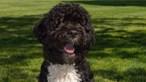 Morreu Bo, o cão d'água português da família Obama