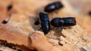 Aprovado primeiro produto derivado de insetos para consumo humano: farinha de larvas de escaravelho