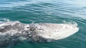 Baleia-cinzenta perdida no Mediterrâneo procura o caminho de volta até ao Pacífico