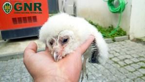Cegonha-branca e coruja-das-torres salvas por militares da GNR. Veja as imagens