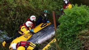 Baleia com três metros fica encalhada no rio Tamisa em Inglaterra