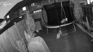 Câmara capta raposas a invadirem casa e a utlizarem trampolim