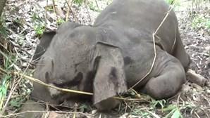 Relâmpagos matam 18 elefantes na Índia