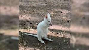 Pequeno canguru albino nasce em zoo russo
