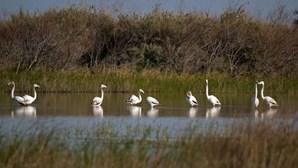 Flamingos já fazem ninhos em Portugal