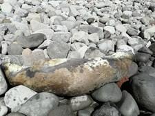 Lobo marinho acarinhado pelos habitantes do Paul do Mar na Calheta aparece morto