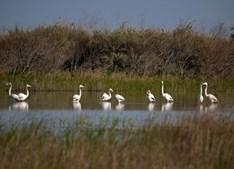 Flamingos no Tejo