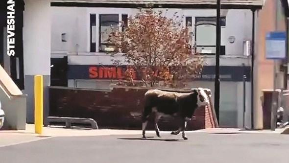 Vaca vai às compras no Reino Unido