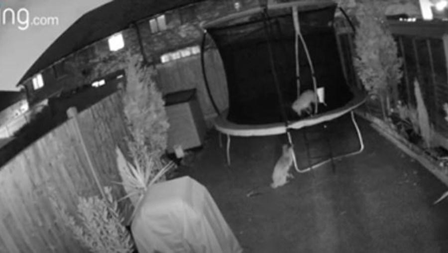 Raposas invadem casa e utilizam trampolim
