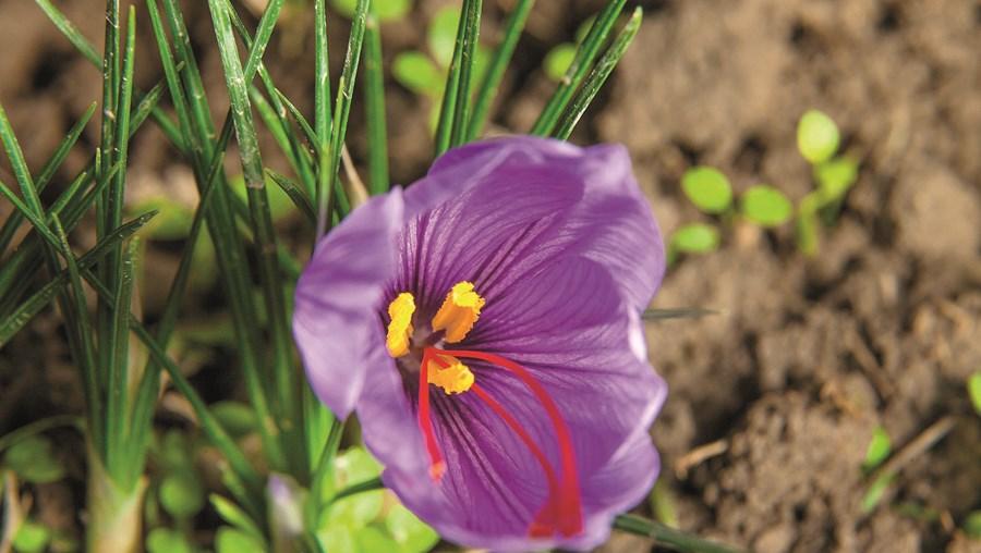 A Flor de Açafrão é responsável pela conhecida especiaria: são necessárias 80 mil flores para produzir meio quilo de açafrão