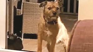Cão distraído é enganado por porta de vidro