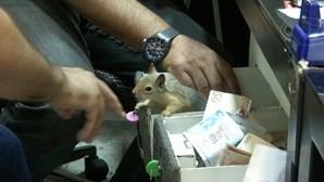 Memocan: o esquilo que guarda a caixa registadora de uma joalharia e que só deixa o dono aproximar-se