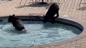 Ursos invadem piscina de hotel e divertem-se. Veja as imagens
