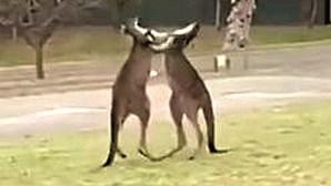 Cangurus envolvem-se em 'combate de boxe' no quintal de casa
