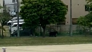 Urso selvagem passeia-se em escola no Japão
