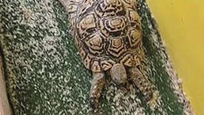 Tartaruga adora andar de escorrega