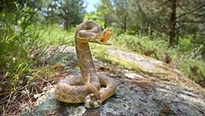 Cão 'herói' afasta dono de serpente venenosa e sacrifica-se para o salvar
