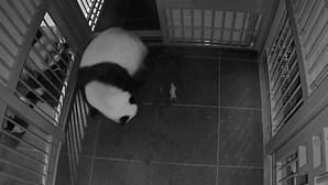 O momento em que um panda gigante dá à luz gémeos