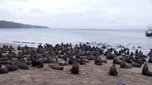 """Centenas de leões marinhos refugiam-se na costa do Chile em fuga de """"baleias assassinas"""""""