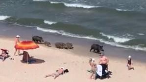 Família de javalis passeia no areal de praia cheia de banhistas