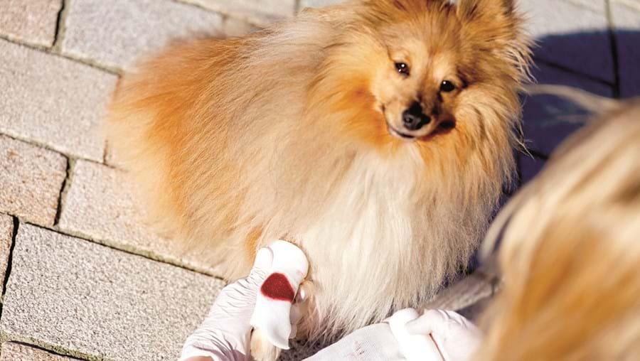 Cão com a pata magoada