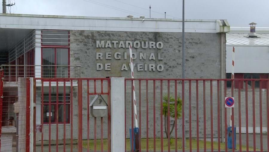 Touro fugiu do Matadouro Regional de Aveiro para um terreno agrícola