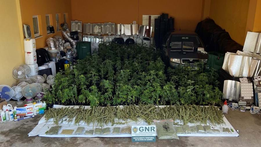 Desmantelada estufa de cultivo de droga em Oliveira de Azeméis