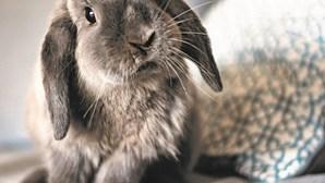 Proteger o orelhudo: Há duas vacinas essenciais para manter a saúde dos coelhos
