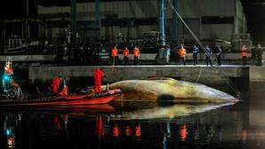 Remoção de baleia com 18 metros custa mais de 40 mil euros