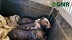 Crias de porco vietnamita resgatadas pela GNR de poço em Palmela