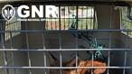 Raposa-vermelha resgatada em Viseu