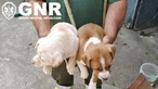 GNR resgata cinco cães abandonados e acorrentados numa casa em Braga