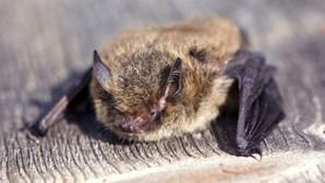 Homem acorda com morcego no pescoço, recusa vacina e morre semanas depois