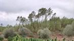 GNR apreende mais de 3 mil plantas de canábis em terreno agrícola na Sertã