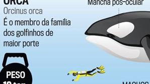Atuns trazem orcas à costa portuguesa