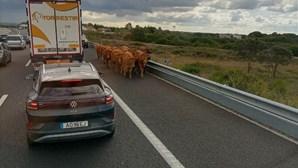 Vacas na A1? Sim, aconteceu e cortou a autoestrada. Veja as imagens