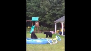 Ursos invadem quintal e brincam na piscina nos Estados Unidos