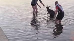 Homens ajudam canguru assustado a sair de lago na Austrália