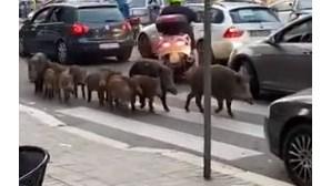 Javalis passeiam nas ruas de Roma
