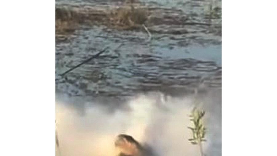 Crocodilo abocanha drone que o espiava