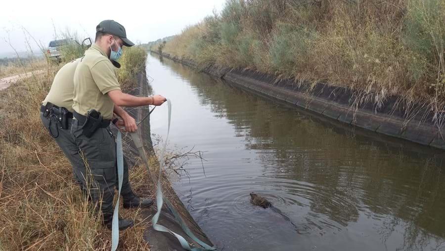 GNR salva javali em perigo de afogamento em Campo Maior