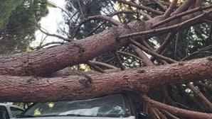 Queda de pinheiro de grandes dimensões destrói seis carros em Oeiras
